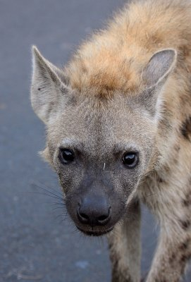 Spotted Hyena (adult)