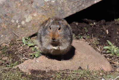 Slogget's Ice Rat