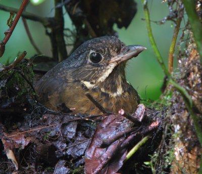 Scaled Antpitta (nesting)