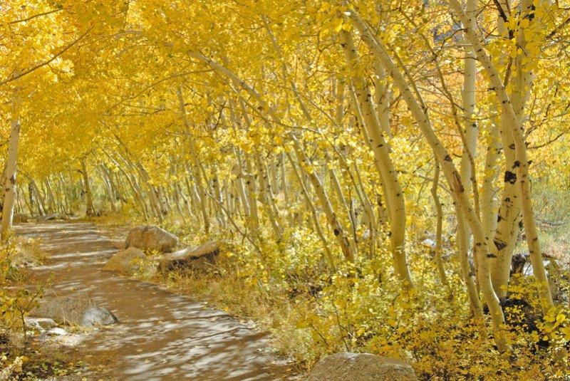 Golden Aspens on the way to Lake Sabrina
