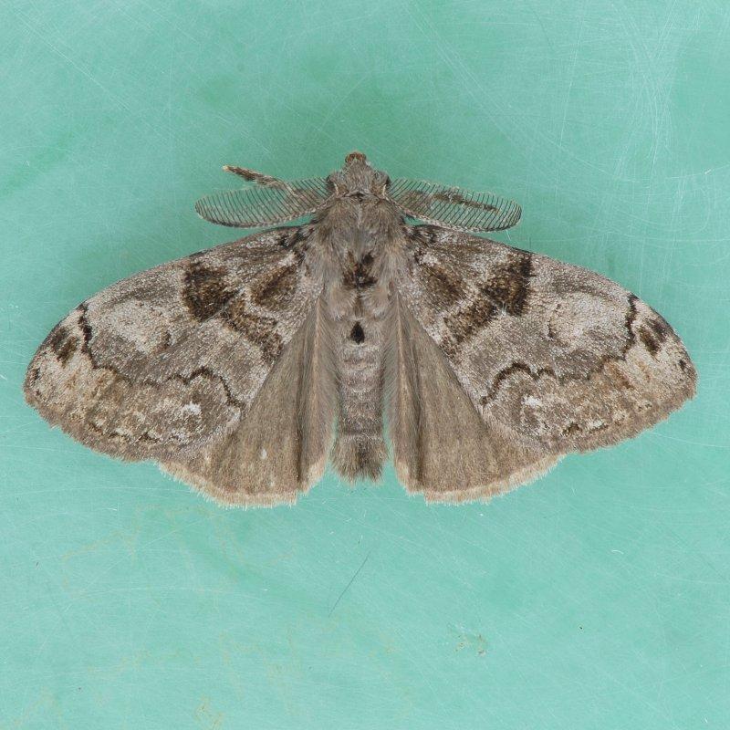 8316    White-marked Tussock - Orgyia leucostigma