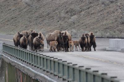 Bison 80