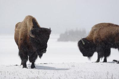Bison 20