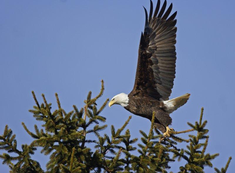 Eagle-on-Pine5.jpg