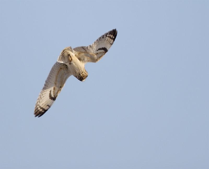SE-Owl-Dive.jpg