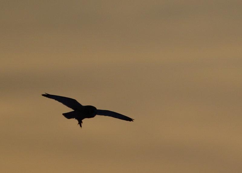 se-owl-at-sundown2.jpg