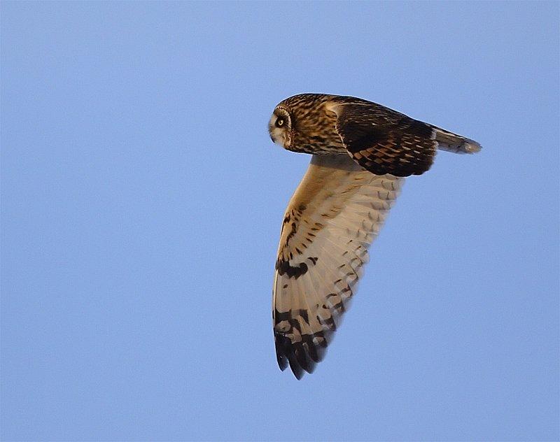 se-owl-flight3.jpg
