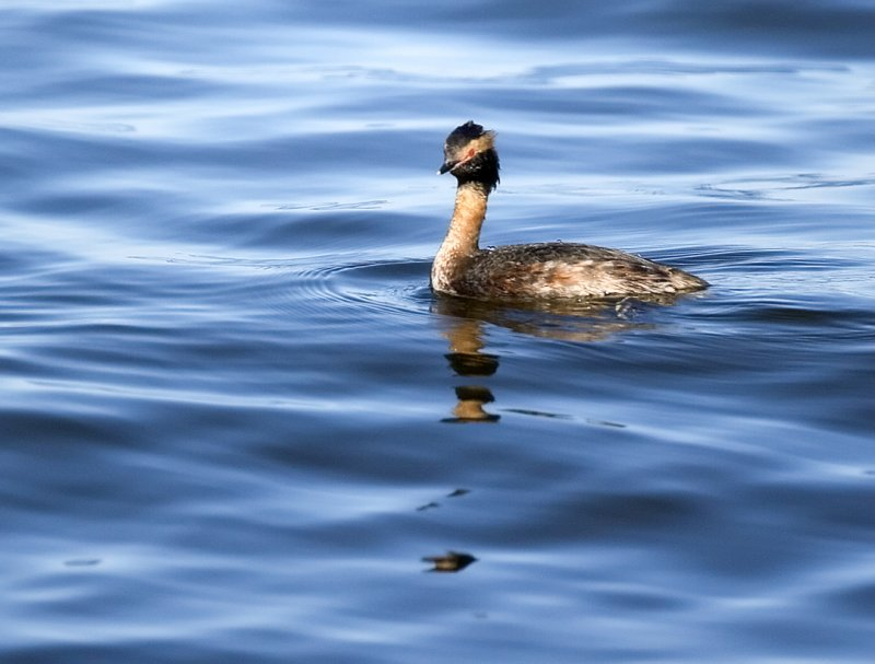 Male Horned Grebe