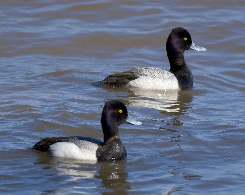 Lesser Scaup males