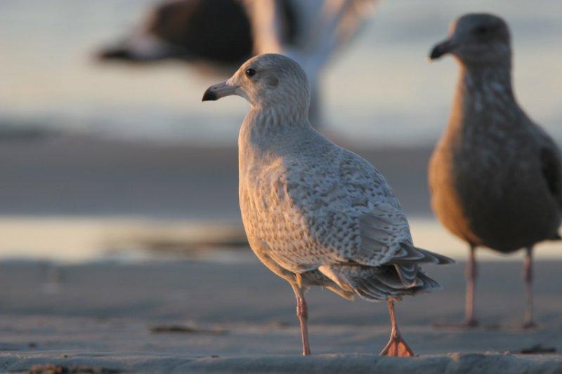Glaucous x Herring (Nelsons Gull)