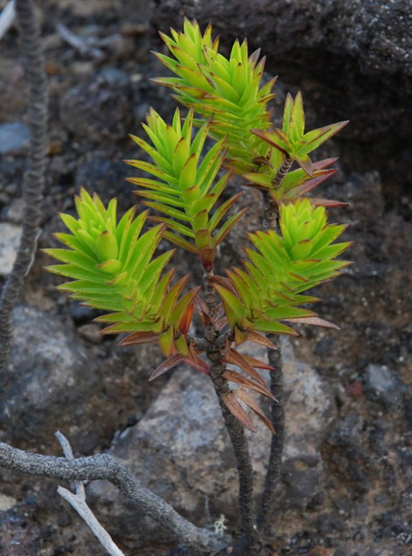 Dubautia Ciliolata