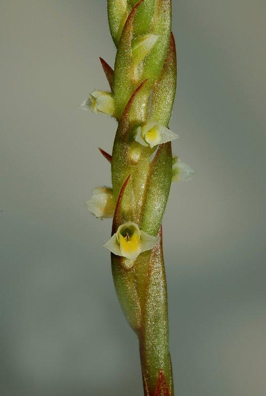 Mesadenella cuspidata, flowers 4 mm