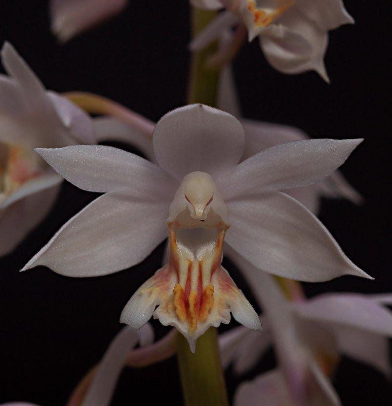 Calanthe aristulifera , flowers  2.5 cm