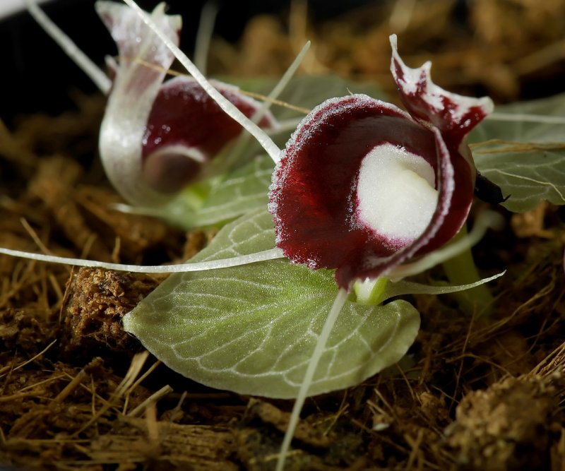 Corybas pictus, borneo