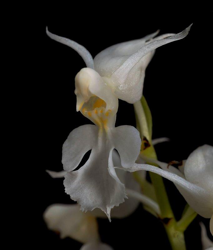 Calanthe reflexa alba  syn. Calanthe puberula forma alba