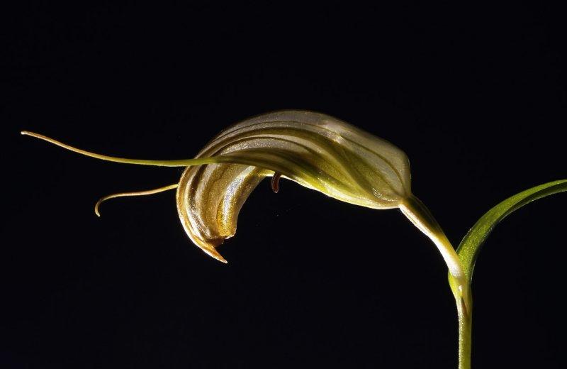 Pterostylis sp.   3.5 cm