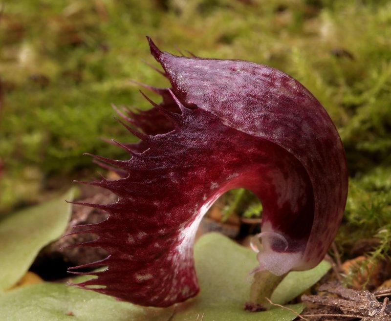 Corybas hispidus, 2 cm
