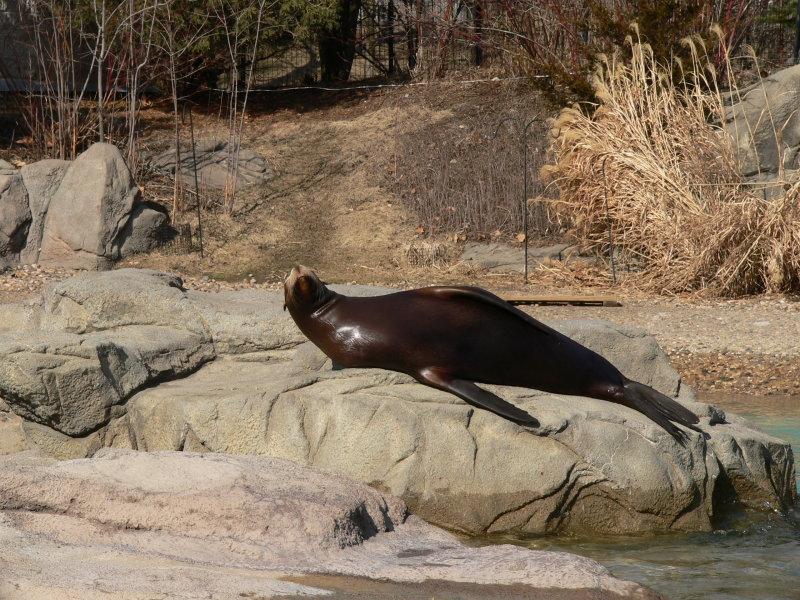 Sunning seal