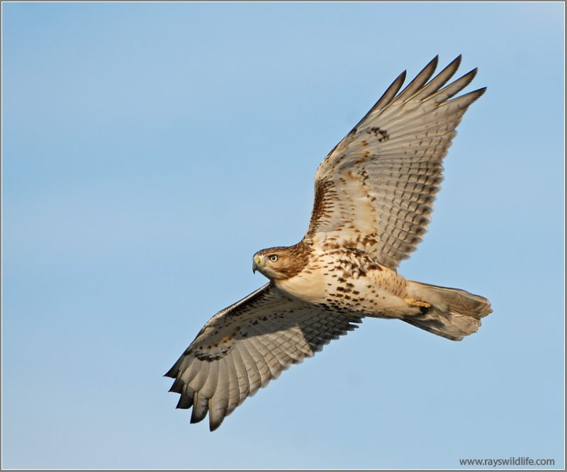 Red-tailed Hawk 45