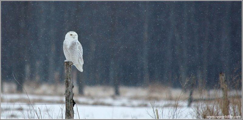 Snowy Owl on Amherst Island 16