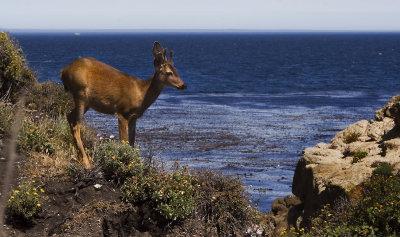 Black-tailed Mule Deer