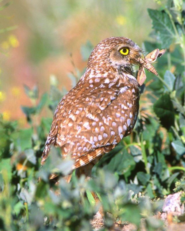 Owl Burrowing S-36.jpg