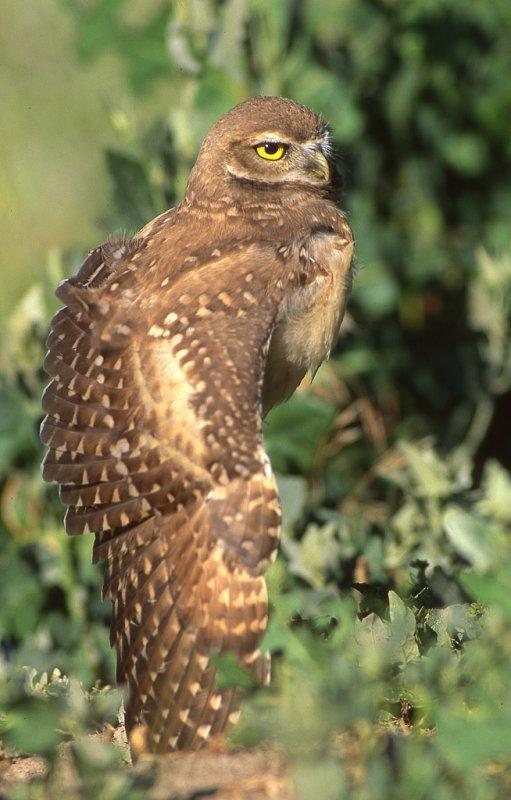 Owl BurrowingS-106.jpg