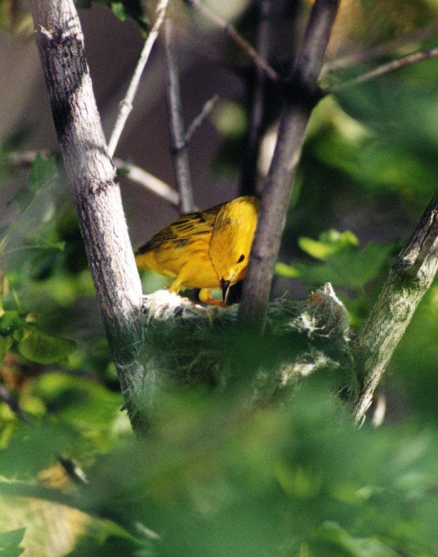 Warbler Yellow P-006.jpg