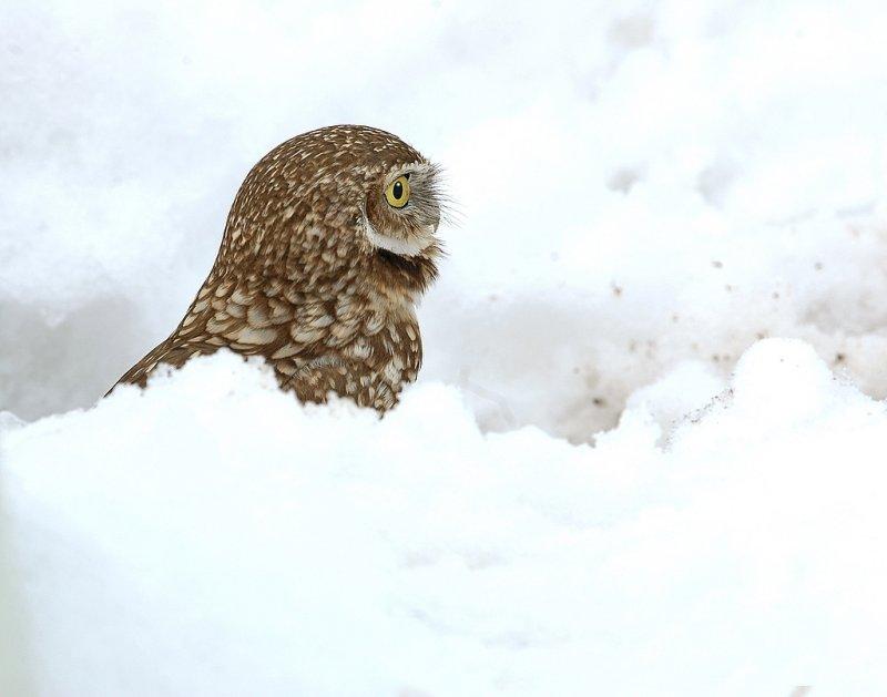 Owl. Burrowing D-007.jpg