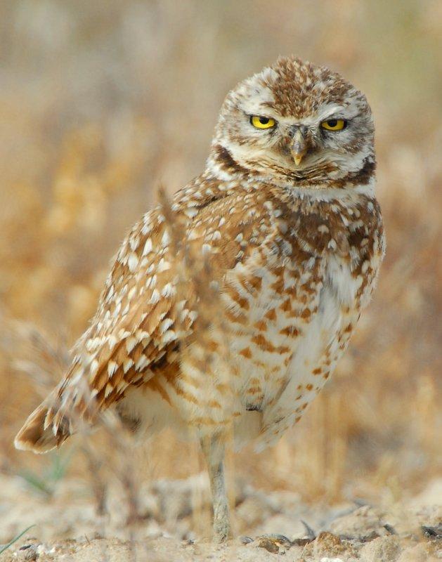 Owl Burrowing D-045.jpg