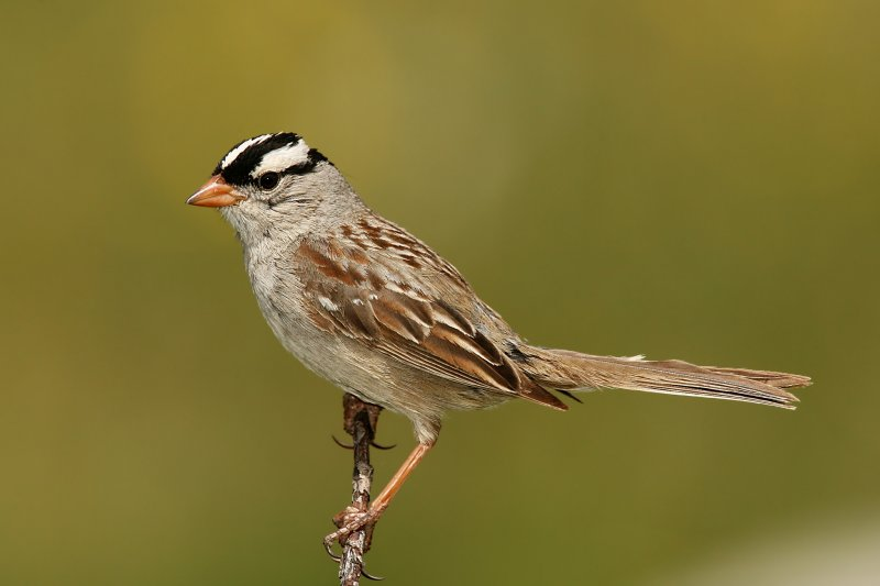 White-Crowned Sparrow <i>Zonotrichia leucophrys</i>