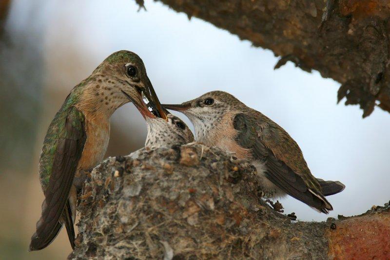 Calliope Hummingbird <i>Stellula calliope</i>
