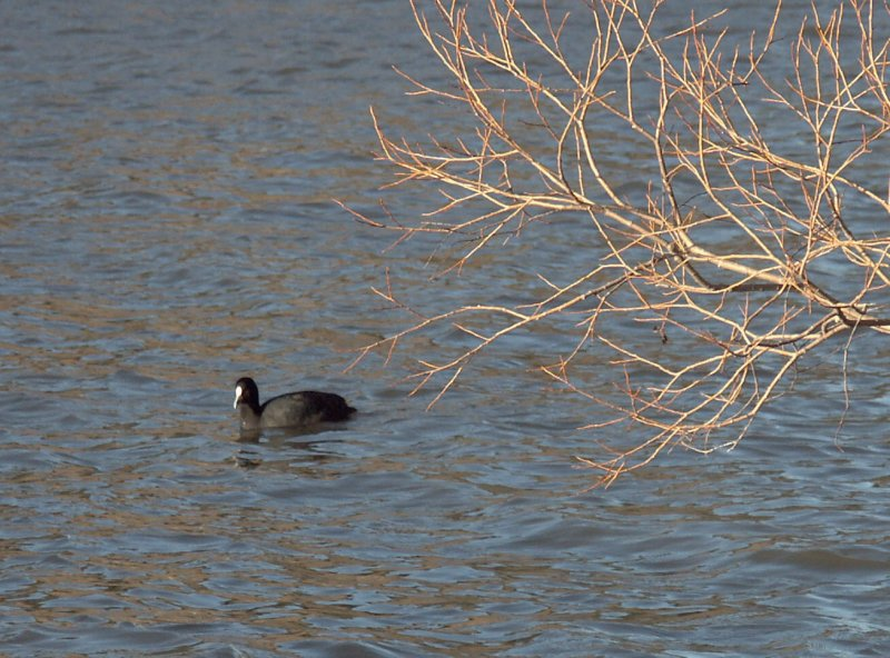 Canberra coot