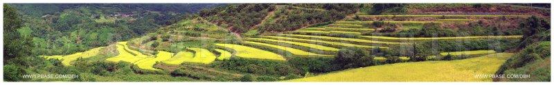 Autumn Terraced Rice Fields w/Chestnut Trees