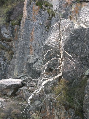 Dead Tree in Black Canyon of the Gunnison
