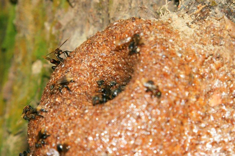 Stingless honey bees