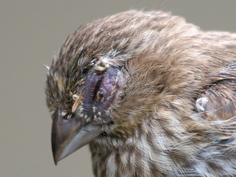 House Finches With Severe Eye Infections (graphic Photos)