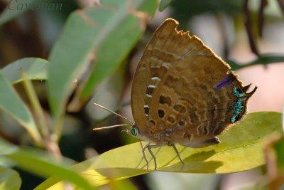 Arhopala centaurus nakula (Centaur Oak Blue)