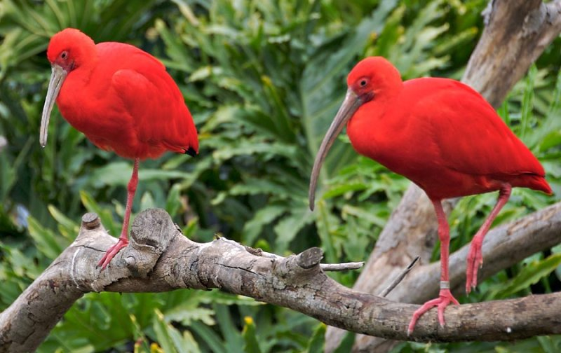 Scarlet Ibis (yes, this is the true color)
