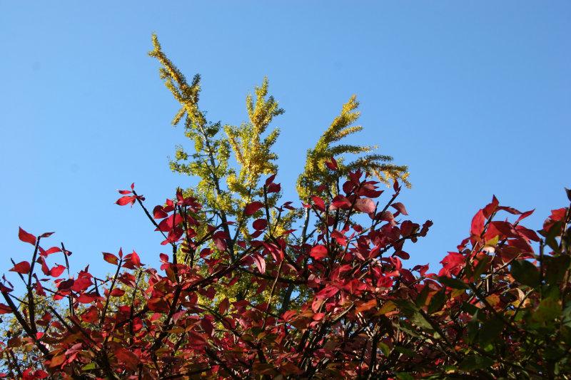 Burning Bush & Ginkgo Foliage