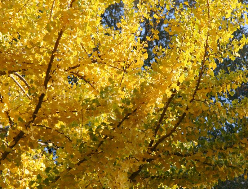 Ginkgo or Maidenhair Tree Foliage