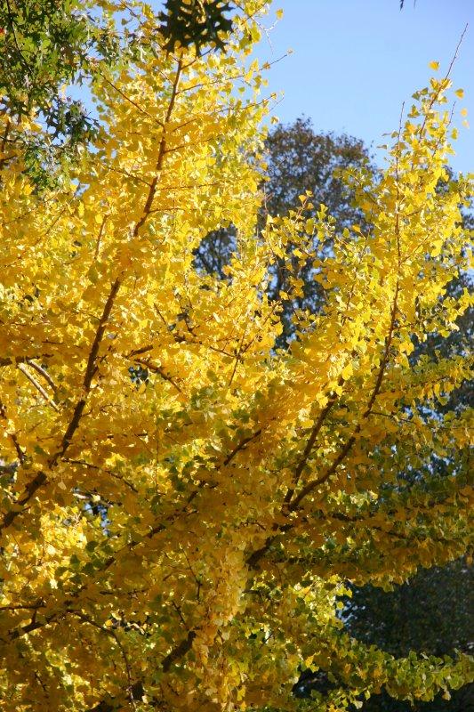 Ginkgo Tree Foliage