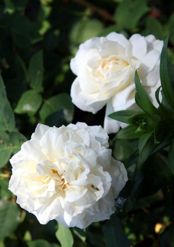 Kron Prinzessen Viktoria Rose