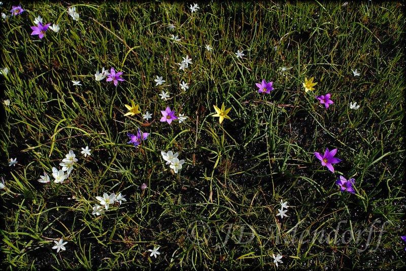 Spiloxene, Moraea, Geisorrhiza & Thrachyandra