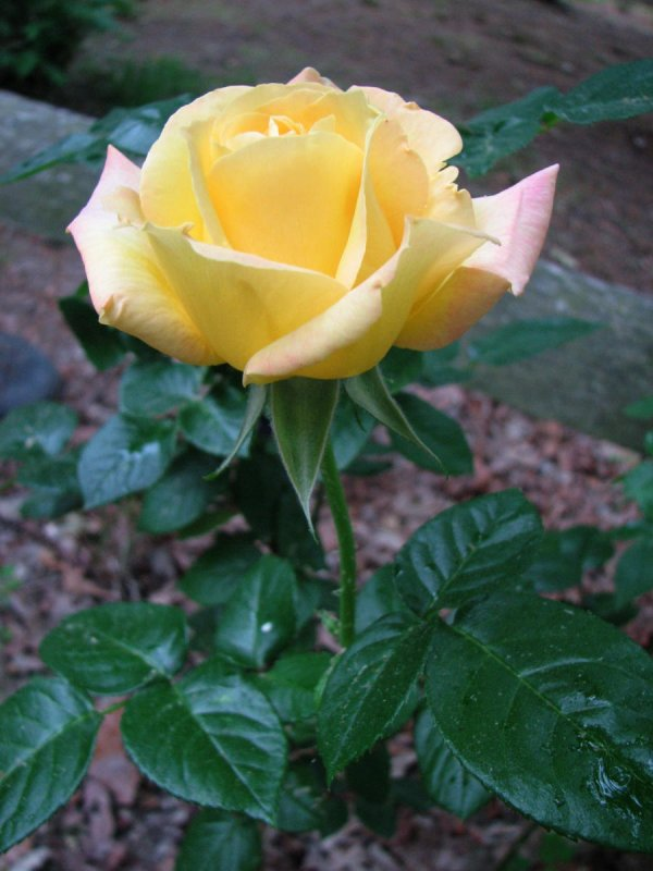 A Rose by Any Other Name.jpg