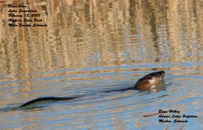 River otter in golden reflection