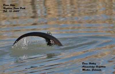 River Otter tail end