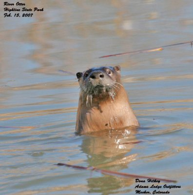 River Otter looking at me