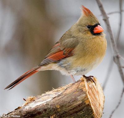 Identifying Winter Birds in Milwaukee  Female Cardinal In Winter
