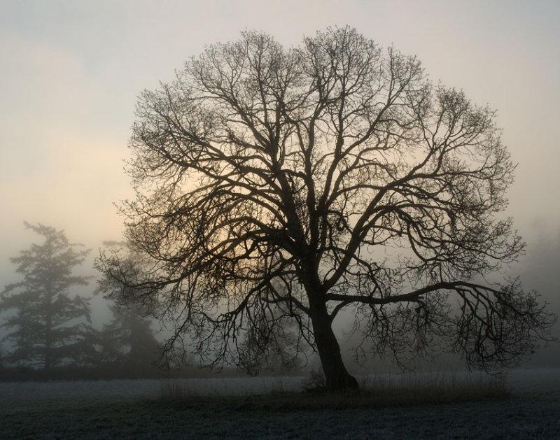 Arnold Oak